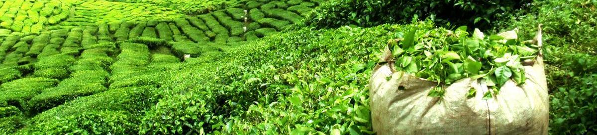 Darjeeling Ernte Plantage