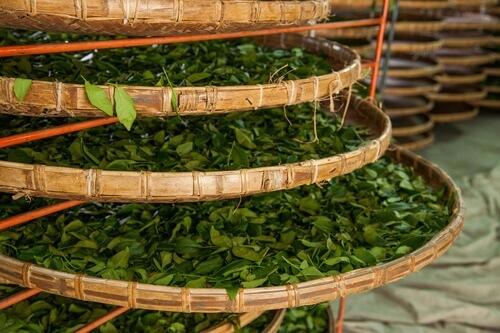 Herstellung von Oolong Tee in Taiwan