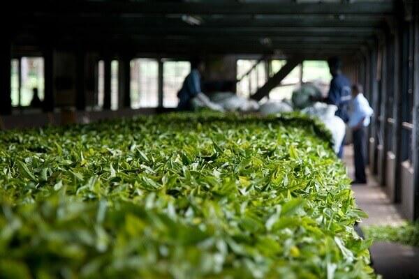 Hersteller Weißer Tee
