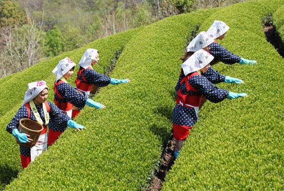 Japanischer Teegarten - Teeanbau in Japan