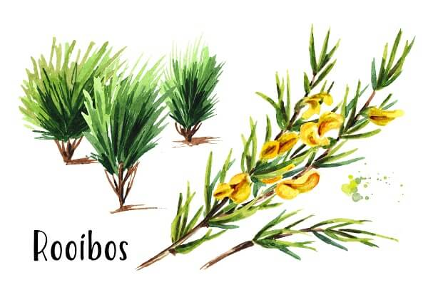 Rooibos Pflanze Aspalathus linearis