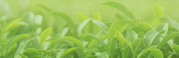 Tee Pflanze - Grüner Tee